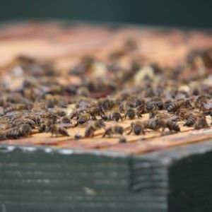 bees on top of hive