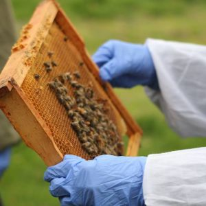 staff member holding a comb of bees