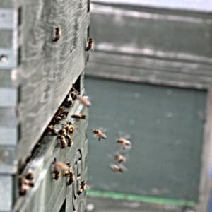 bees working in cloak board